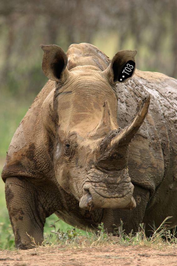 rinoceronteok1